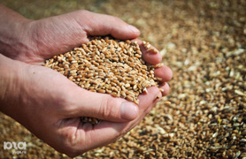 dp.uz.gov.ua: За два літні місяці залізниця перевезла понад 450 тис. тонн зерна нового врожаю